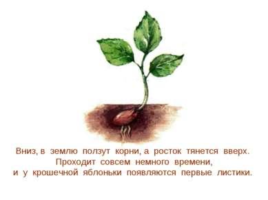 Вниз, в землю ползут корни, а росток тянется вверх. Проходит совсем немного в...