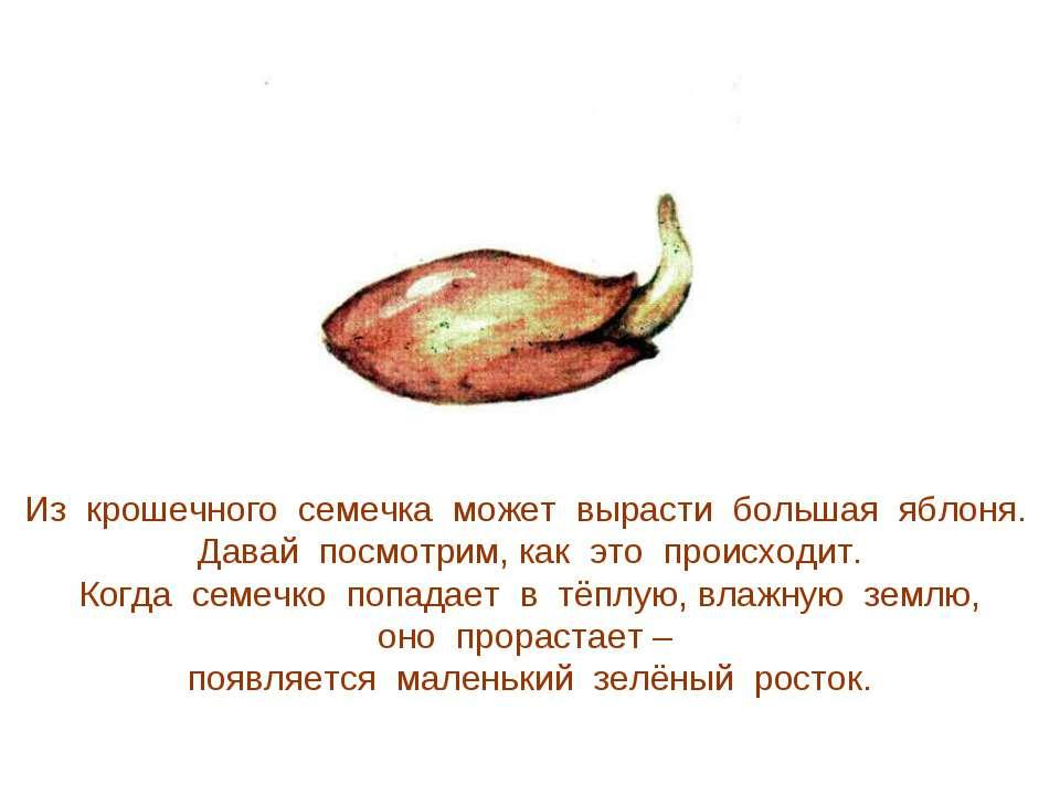 Из крошечного семечка может вырасти большая яблоня. Давай посмотрим, как это ...