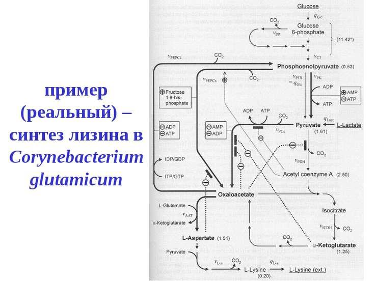 пример (реальный) – синтез лизина в Corynebacterium glutamicum