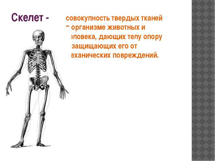 Скелет - совокупность твердых тканей в организме животных и человека, дающих ...