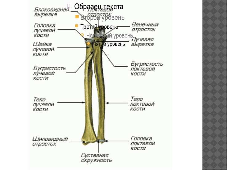 какая часть тело относиться к крупному суставу
