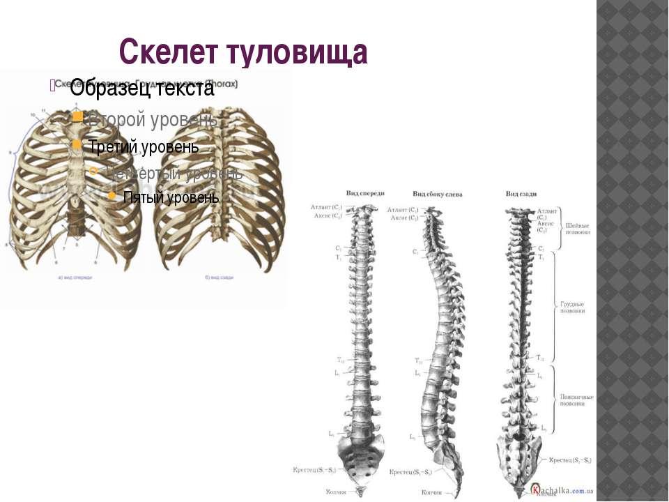 Скелет туловища