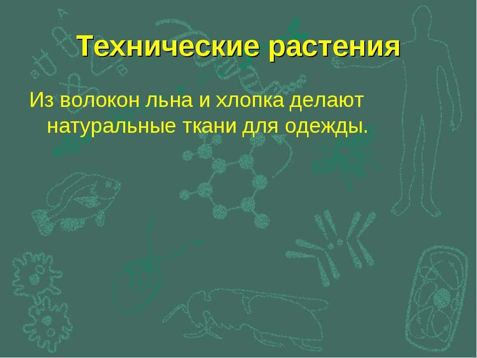 Технические растения Из волокон льна и хлопка делают натуральные ткани для од...