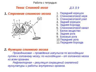 Тема: Спинной мозг Д.З. § 9 Работа с тетрадью: Строение спинного мозга Передн...