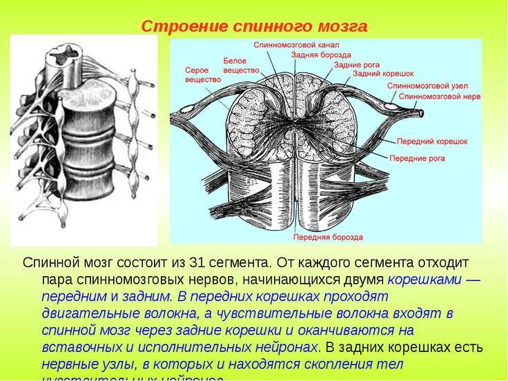 Строение спинного мозга Спинной мозг состоит из 31 сегмента. От каждого сегме...