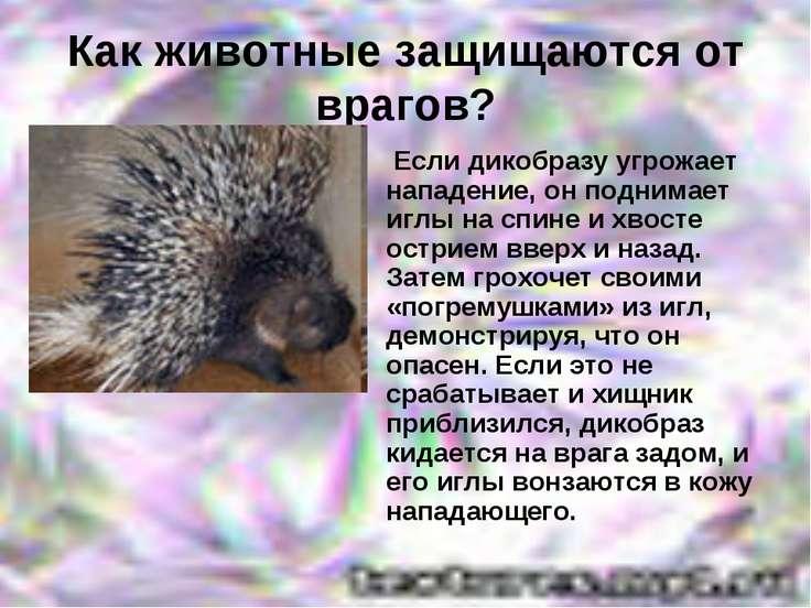 Как животные защищаются от врагов? Если дикобразу угрожает нападение, он подн...
