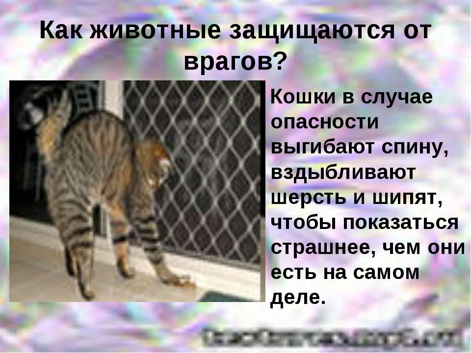 Как животные защищаются от врагов? Кошки в случае опасности выгибают спину, в...