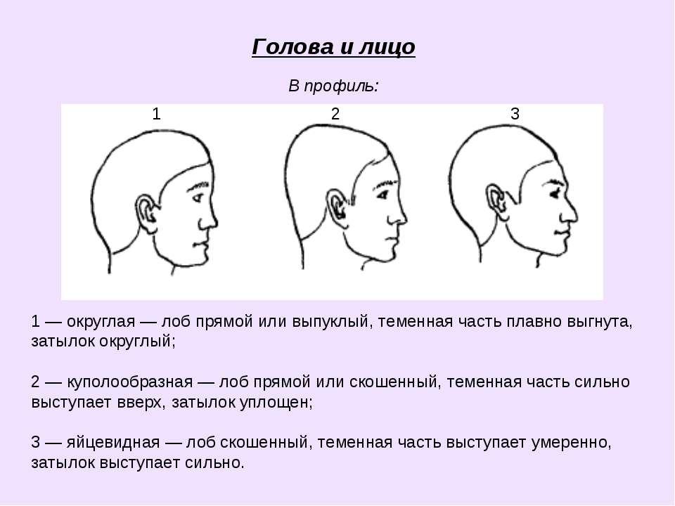 Голова и лицо В профиль: 1 2 3 1 — округлая — лоб прямой или выпуклый, теменн...