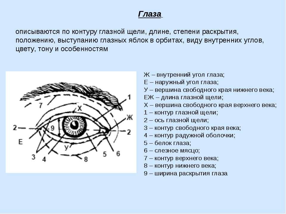Глаза описываются по контуру глазной щели, длине, степени раскрытия, положени...