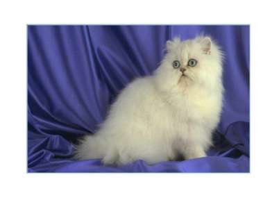 Белые голубоглазые кошки глухие