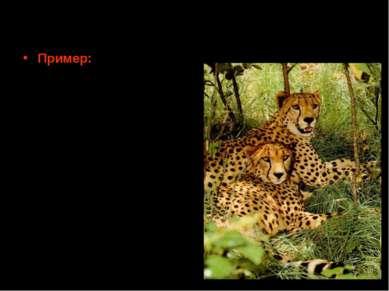 Эффект бутылочного горлышка в реальных популяциях Пример: Ситуация с гепардам...