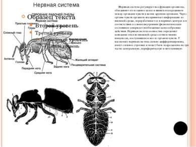 Нервная система регулирует все функции организма, объединяет его в единое цел...