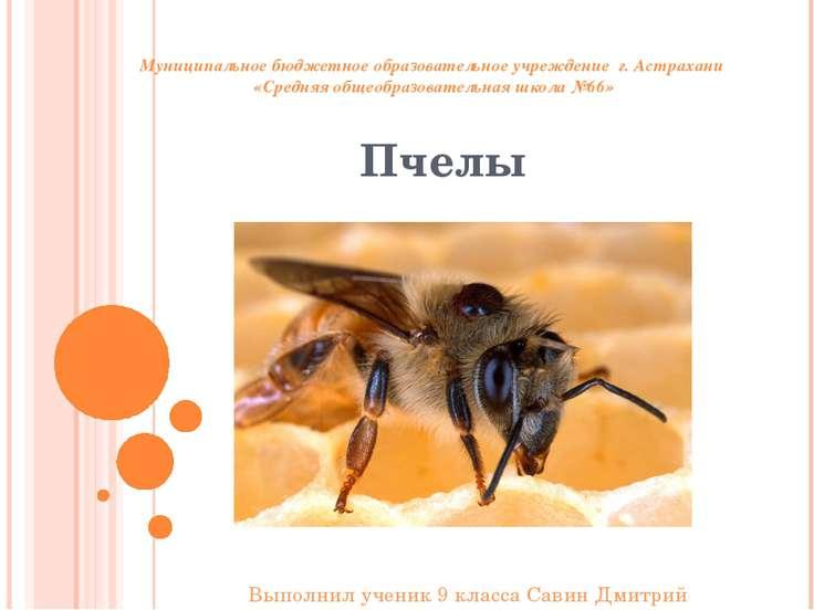 Пчелы Муниципальное бюджетное образовательное учреждение г. Астрахани «Средня...