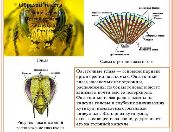 Рисунок показывающий расположение глаз пчелы Схема строения глаза пчелы Пчела...