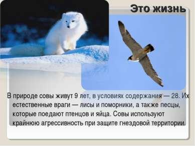 В природе совы живут 9 лет, в условиях содержания — 28. Их естественные враги...