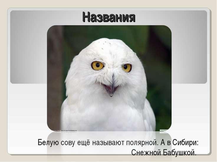 Названия Белую сову ещё называют полярной. А в Сибири: Снежной Бабушкой.