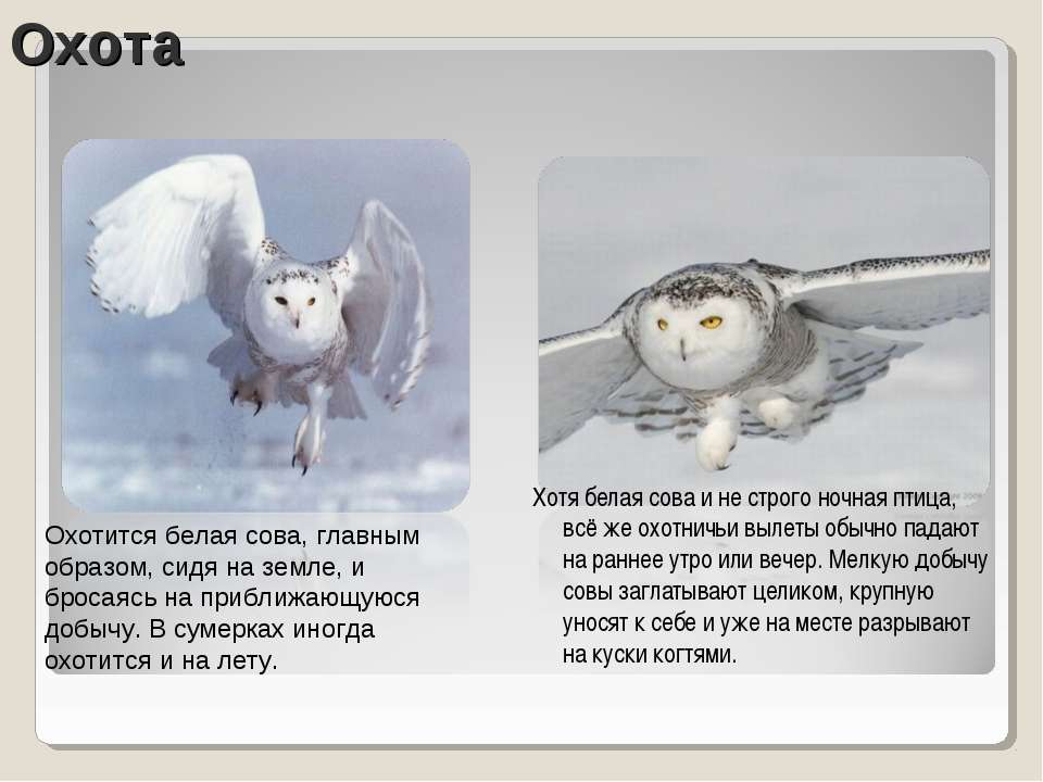 Охота Охотится белая сова, главным образом, сидя на земле, и бросаясь на приб...