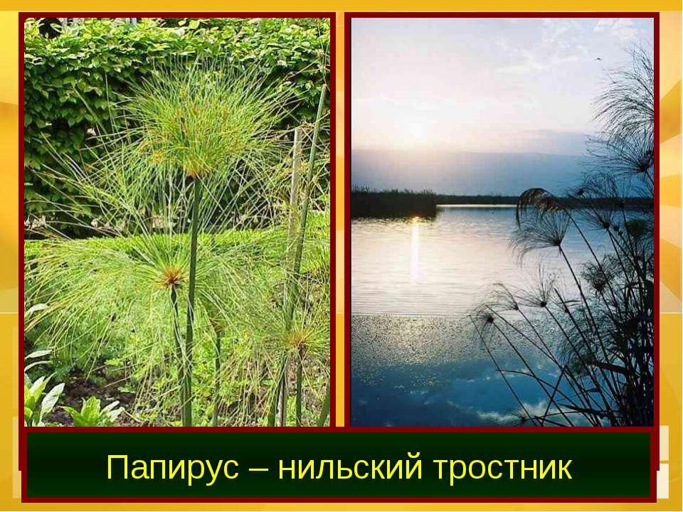 Папирус – нильский тростник