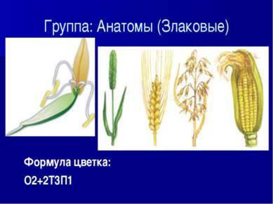 Группа: Анатомы (Злаковые) Формула цветка: О2+2Т3П1