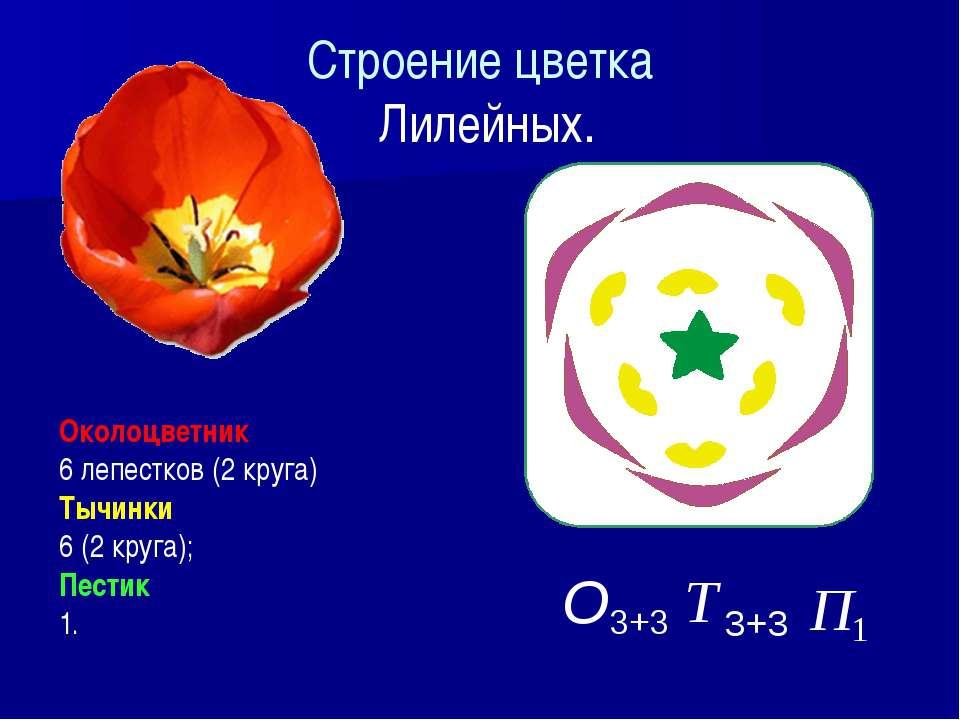Строение цветка Лилейных. Околоцветник 6 лепестков (2 круга) Тычинки 6 (2 кру...