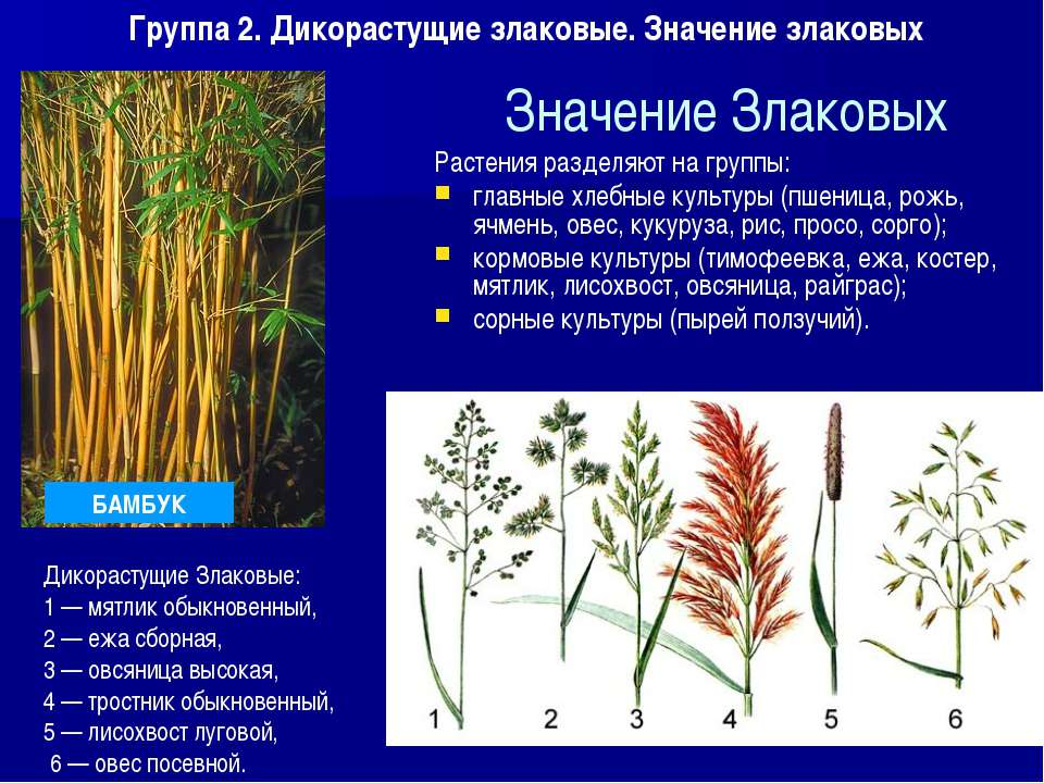 Значение Злаковых Растения разделяют на группы: главные хлебные культуры (пше...