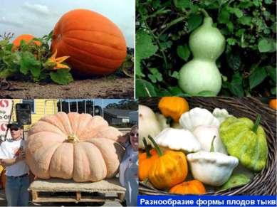 Разнообразие формы плодов тыквы Разнообразие плодов тыквы