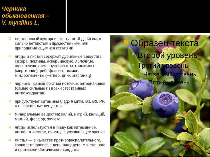 Черника обыкновенная – V. mуrtillus L. листопадный кустарничек высотой до 60 ...