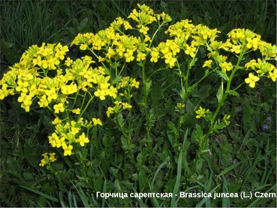 Горчица сарептская - Brassica juncea (L.) Czern.