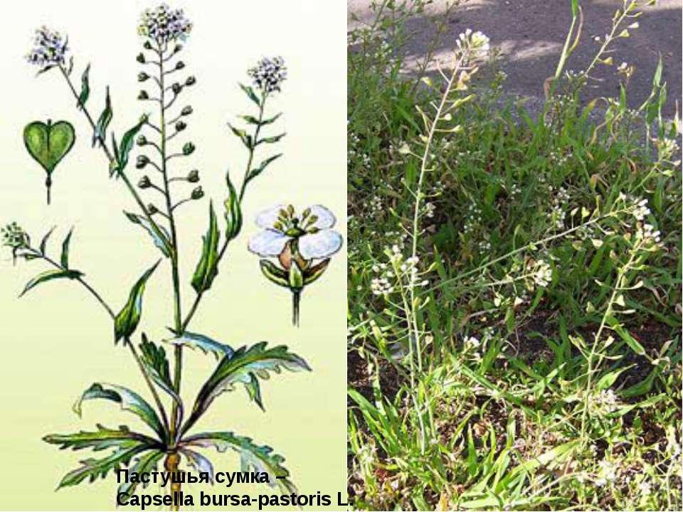 Пастушья сумка – Capsella bursa-pastoris L.