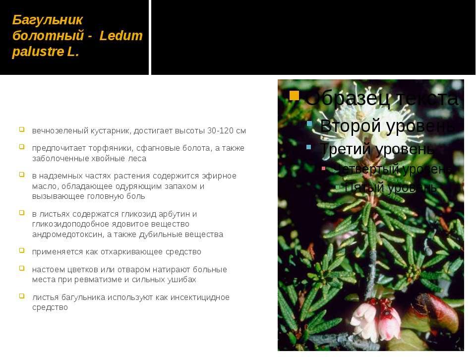 Багульник болотный - Ledum palustre L. вечнозеленый кустарник, достигает высо...