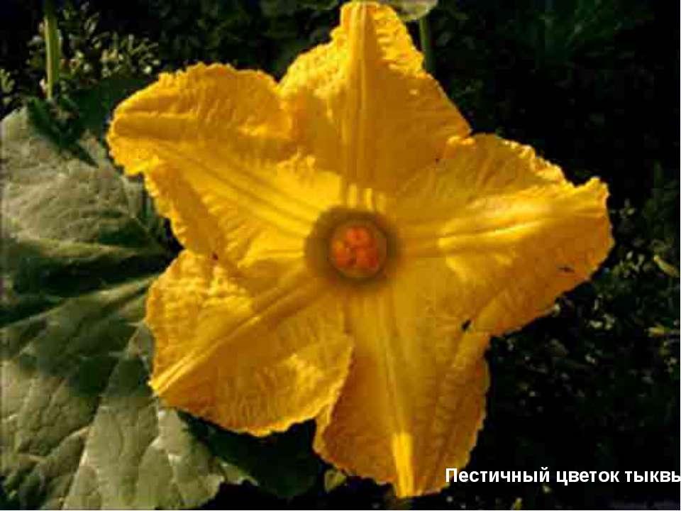Пестичный цветок тыквы Пестичный цветок тыквы