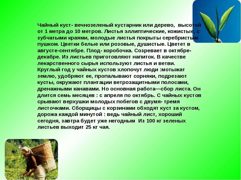 Чайный куст- вечнозеленый кустарник или дерево, высотой от 1 метра до 10 метр...