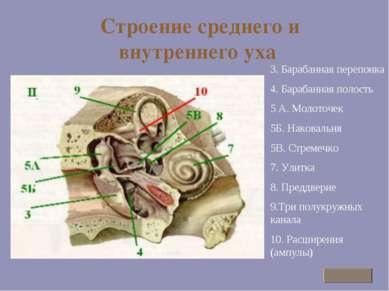 Строение среднего и внутреннего уха 3. Барабанная перепонка 4. Барабанная пол...