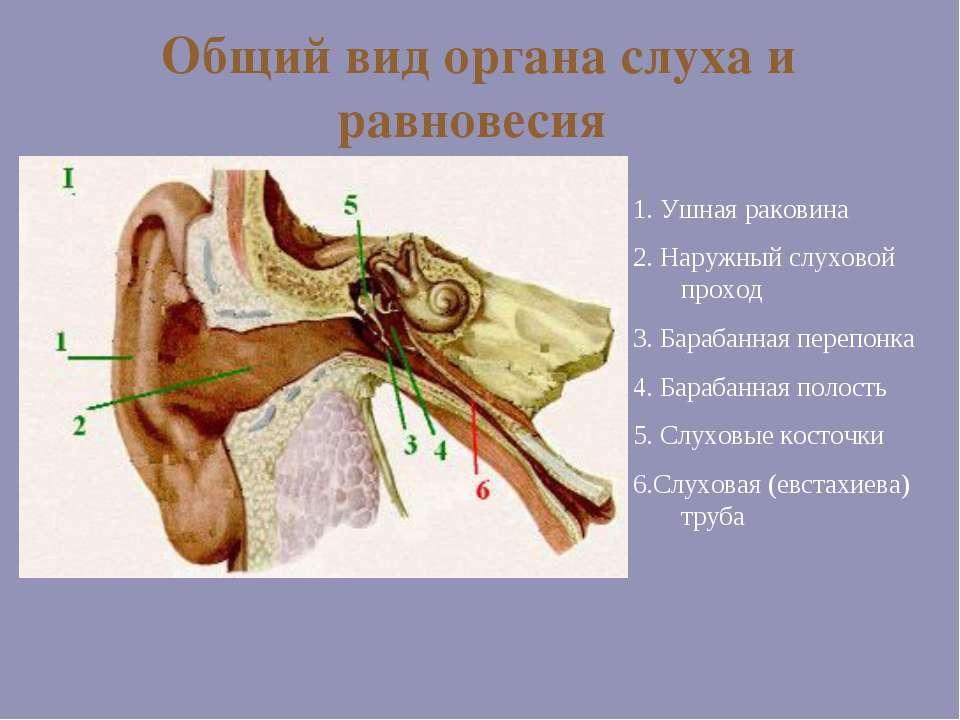 Общий вид органа слуха и равновесия 1. Ушная раковина 2. Наружный слуховой пр...
