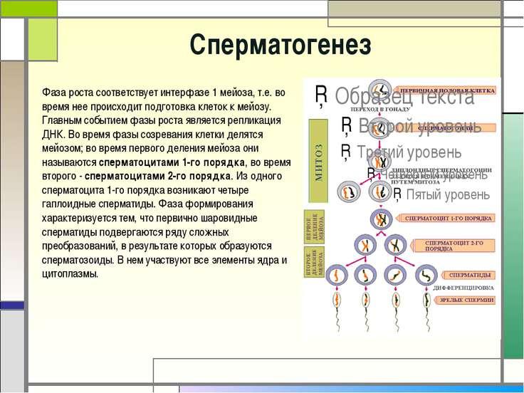 Что образуется после сперматогенеза из одного сперматоцита
