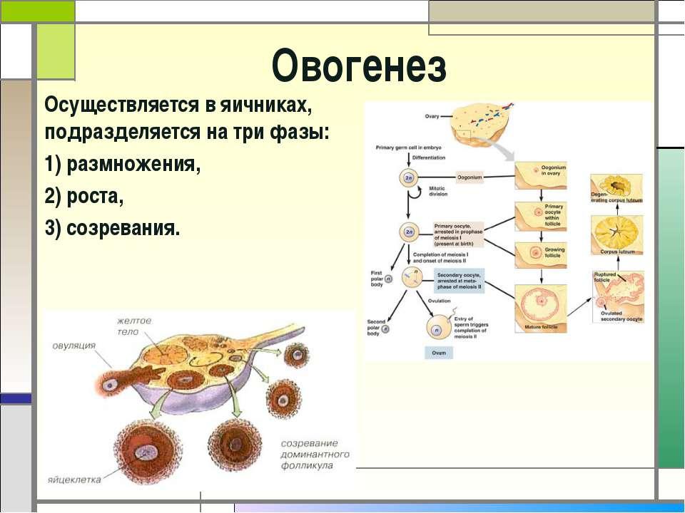 Презентация к уроку сперматогинез