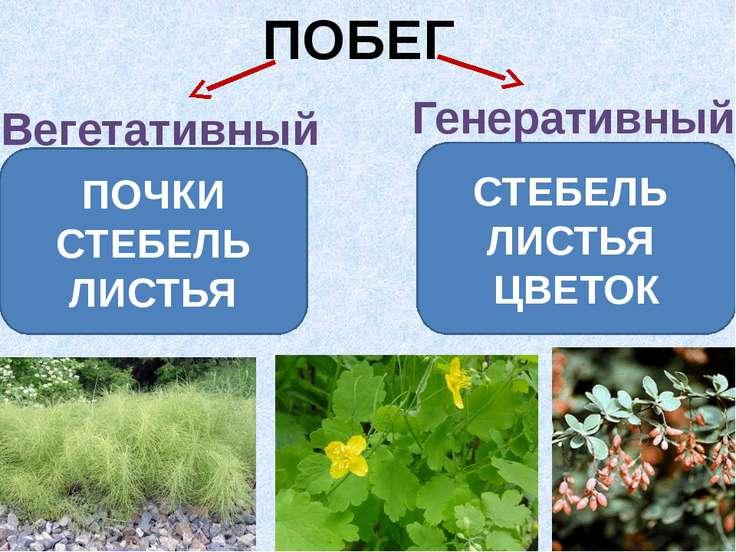 ПОБЕГ Вегетативный Генеративный ПОЧКИ СТЕБЕЛЬ ЛИСТЬЯ СТЕБЕЛЬ ЛИСТЬЯ ЦВЕТОК