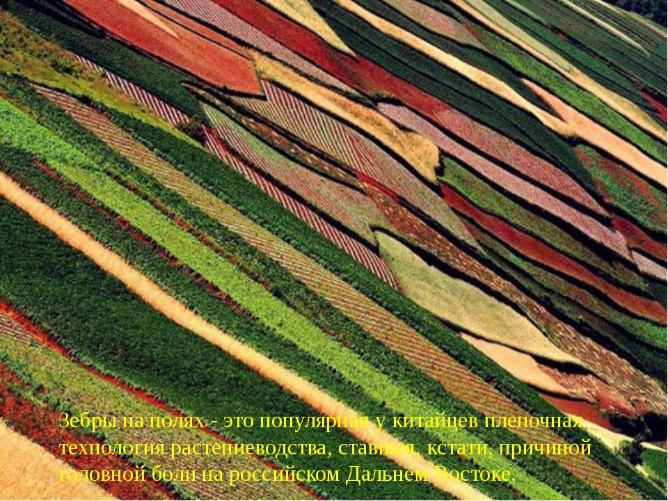 Зебры на полях - это популярная у китайцев пленочная технология растениеводст...