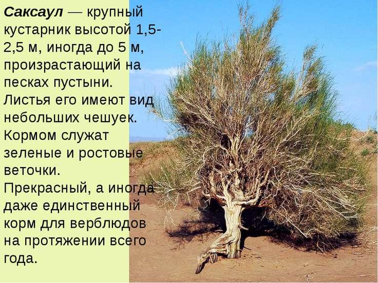 Саксаул — крупный кустарник высотой 1,5-2,5 м, иногда до 5 м, произрастающий ...