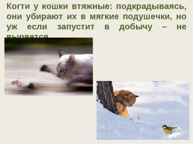 Когти у кошки втяжные: подкрадываясь, они убирают их в мягкие подушечки, но у...
