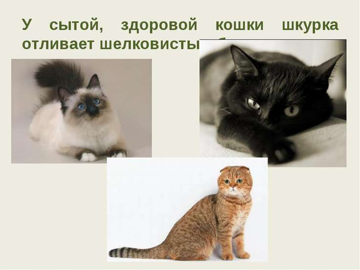 У сытой, здоровой кошки шкурка отливает шелковистым блеском.