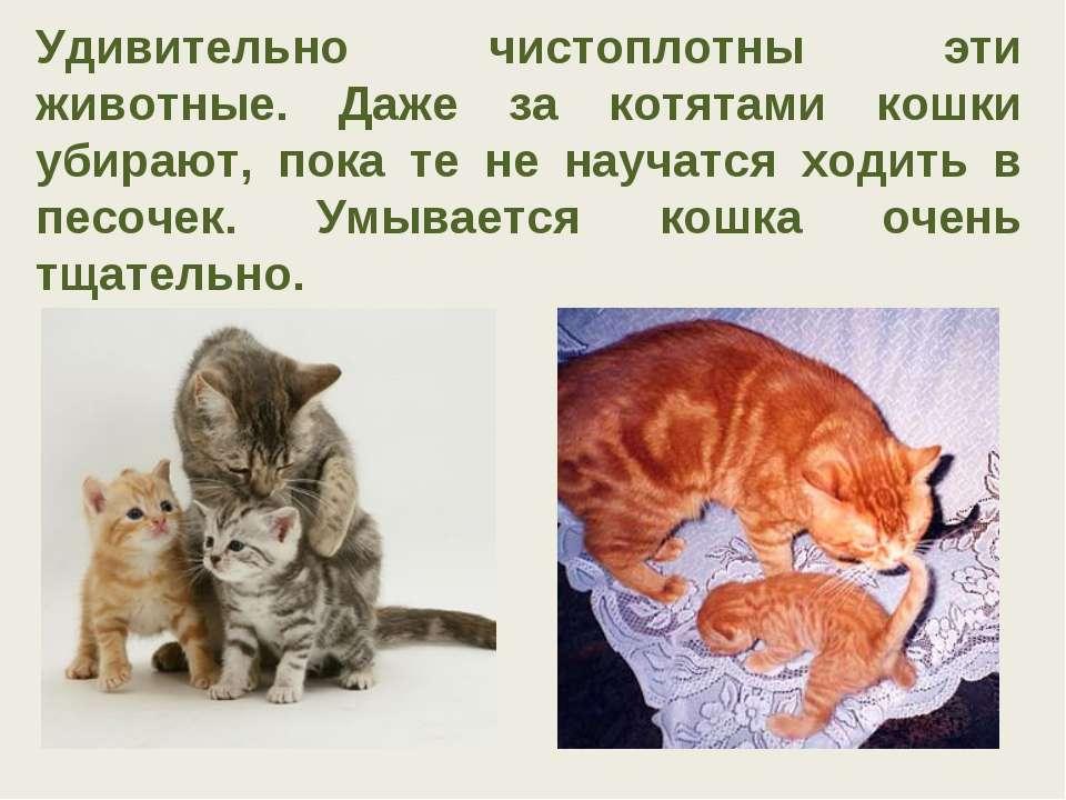 Удивительно чистоплотны эти животные. Даже за котятами кошки убирают, пока те...