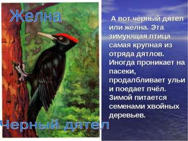 А вот чёрный дятел или желна. Эта зимующая птица самая крупная из отряда дятл...