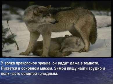 У волка прекрасное зрение, он видит даже в темноте. Питается в основном мясом...