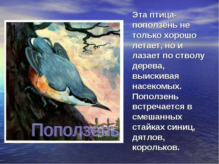 Эта птица- поползень не только хорошо летает, но и лазает по стволу дерева, в...
