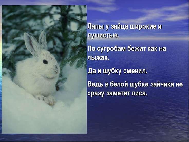 Лапы у зайца широкие и пушистые. По сугробам бежит как на лыжах. Да и шубку с...