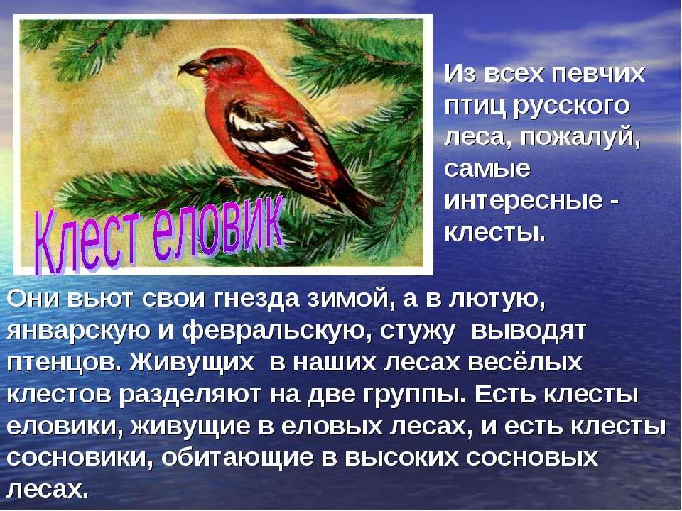 Они вьют свои гнезда зимой, а в лютую, январскую и февральскую, стужу выводят...