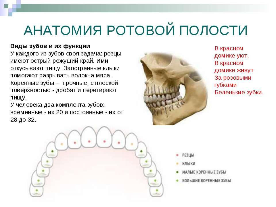 АНАТОМИЯ РОТОВОЙ ПОЛОСТИ Виды зубов и их функции У каждого из зубов своя зада...