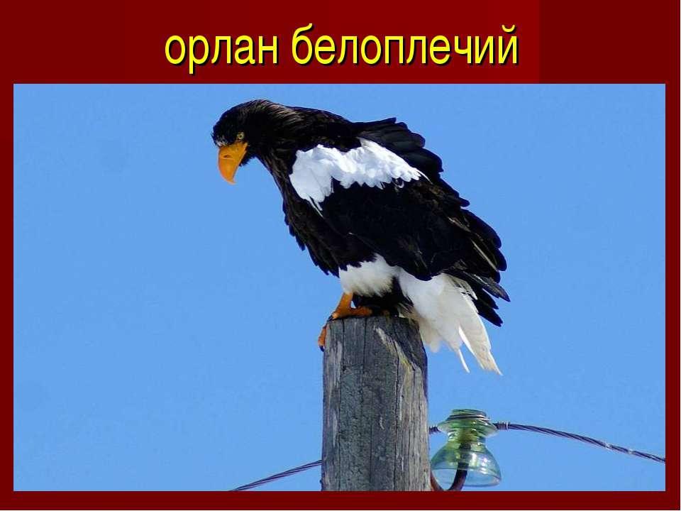 орлан белоплечий