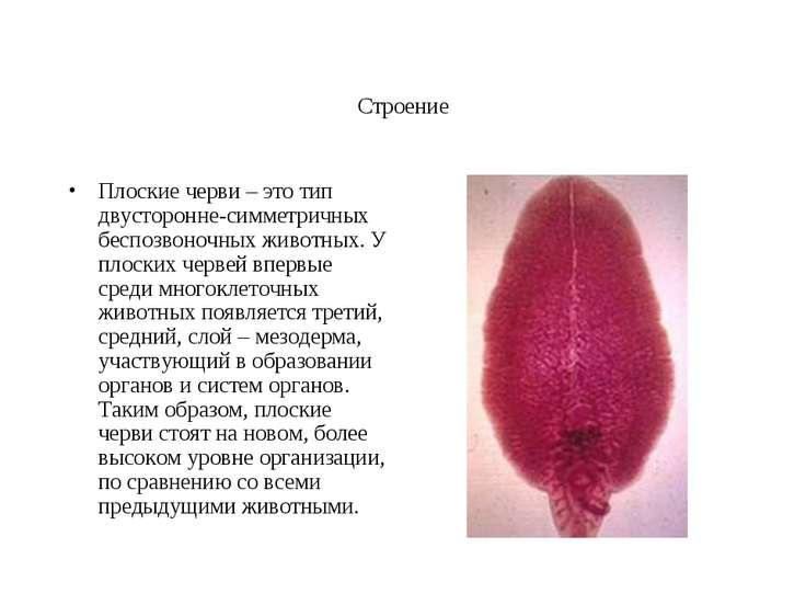Строение Плоские черви – это тип двусторонне-симметричных беспозвоночных живо...